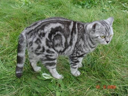 Британская кошка табби: описание, фото и различные окрасы