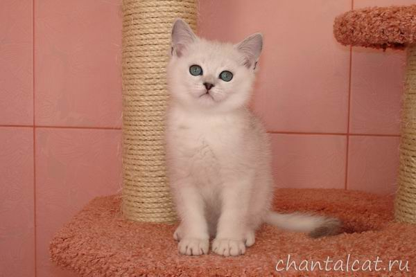 silver shaded kitten