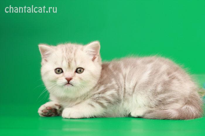скоттиш страйт котята фото