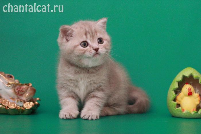британски котята мраморный фото
