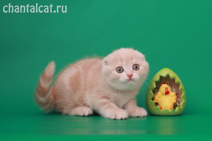 scottish-fold photo